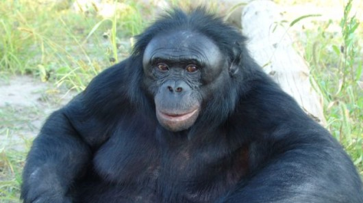 bonobo11 Special App Lets Apes Talk to Humans