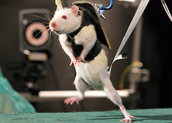 rodents Researchers Sever Rats Spines, Then Teach Them to Walk Again