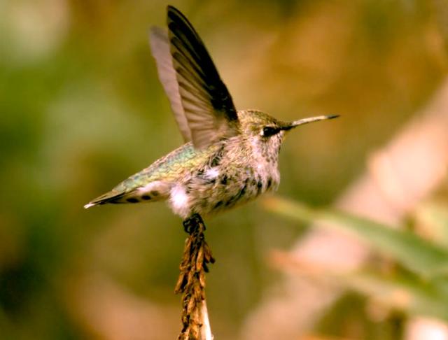bird-flight-mobilemag Designing Drones By Studying Flight Of Birds (Video)
