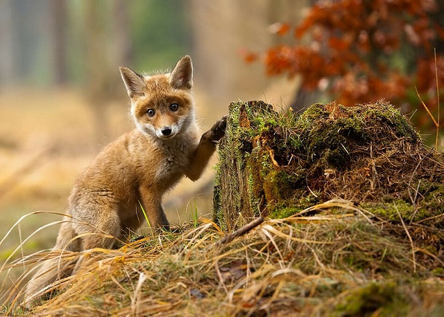 fox-photos-mobilemag-18 Fox Photography: It's Time To Fall In Love With Foxes