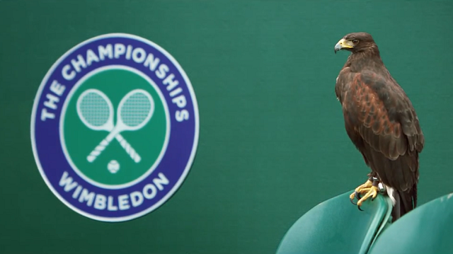 wimbledon-rufus-hawk Rufus: The Wimbledon Hawk (Video)