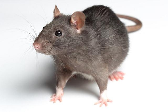 rat-meat-china