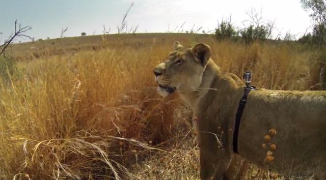 gopro-lion-hunt-kevin-richardson