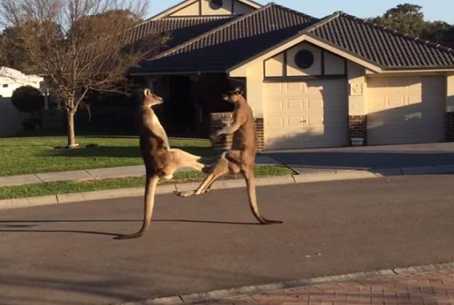 kangaroo-box-australia